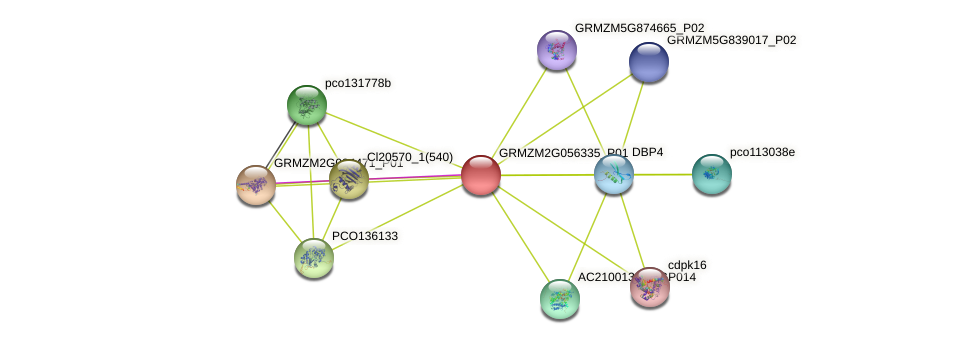 GRMZM2G056335_P01 protein (Zea mays) - STRING interaction network