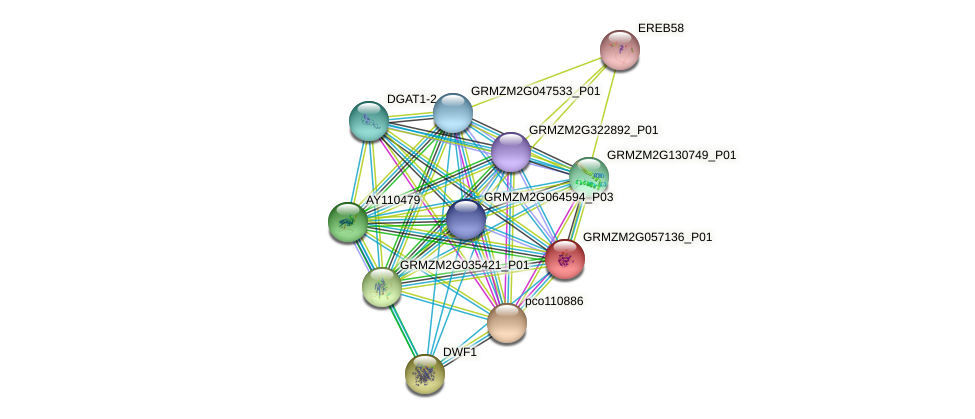 GRMZM2G057136_P01 protein (Zea mays) - STRING interaction network