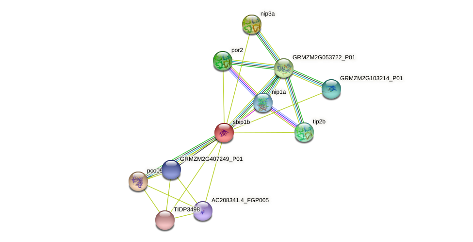 SIP1-2 protein (Zea mays) - STRING interaction network