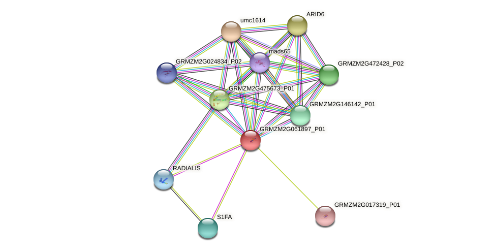 GRMZM2G061897_P01 protein (Zea mays) - STRING interaction network