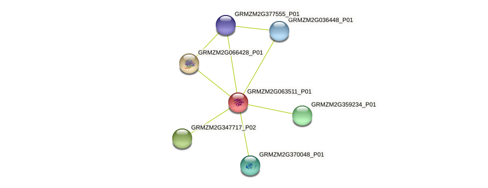 GRMZM2G063511_P01 protein (Zea mays) - STRING interaction network