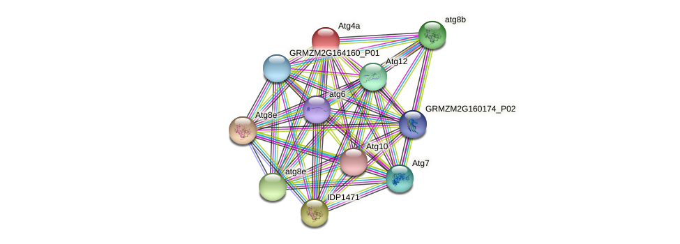 Atg4a protein (Zea mays) - STRING interaction network