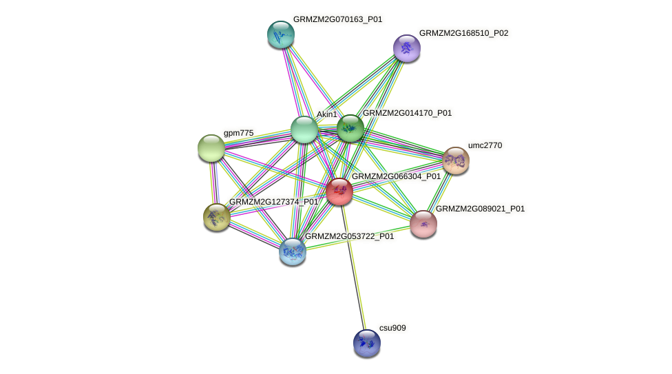 GRMZM2G066304_P01 protein (Zea mays) - STRING interaction network