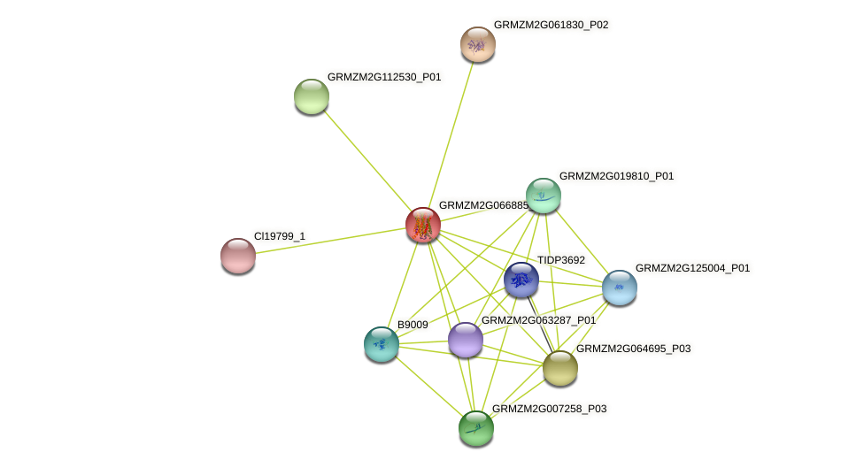 GRMZM2G066885_P01 protein (Zea mays) - STRING interaction network