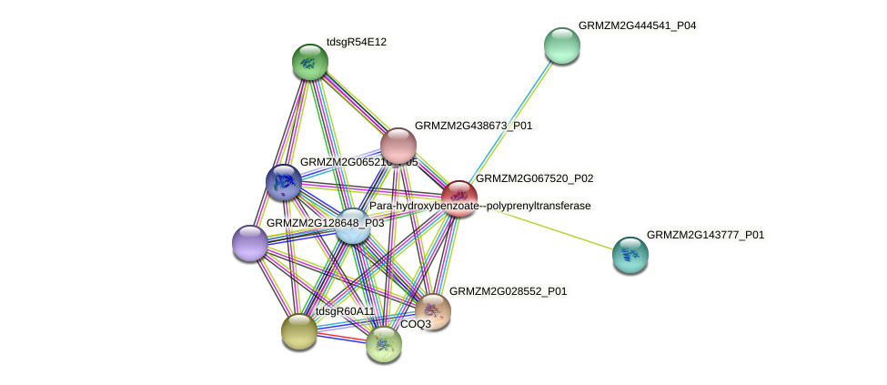 GRMZM2G067520_P02 protein (Zea mays) - STRING interaction network