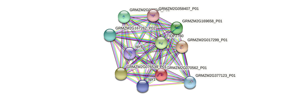 GRMZM2G070562_P01 protein (Zea mays) - STRING interaction network