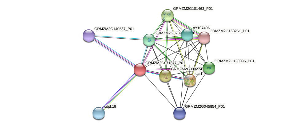 GRMZM2G071877_P01 protein (Zea mays) - STRING interaction network