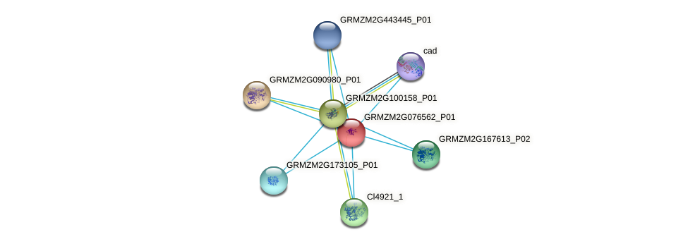 GRMZM2G076562_P01 protein (Zea mays) - STRING interaction network