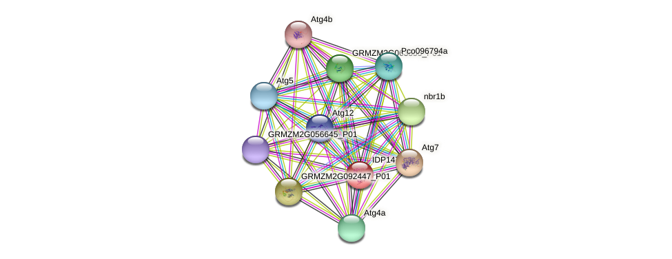 GRMZM2G076826_P01 protein (Zea mays) - STRING interaction network