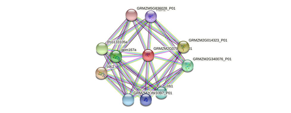 GRMZM2G079629_P01 protein (Zea mays) - STRING interaction network
