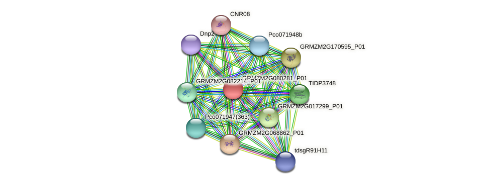 GRMZM2G080281_P01 protein (Zea mays) - STRING interaction network