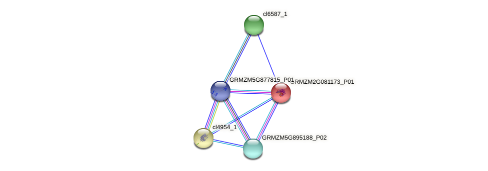 GRMZM2G081173_P01 protein (Zea mays) - STRING interaction network