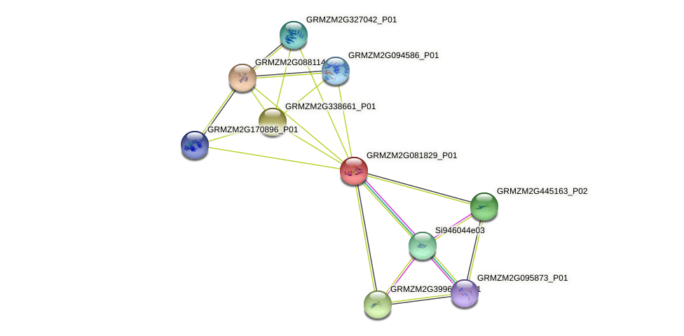 GRMZM2G081829_P01 protein (Zea mays) - STRING interaction network