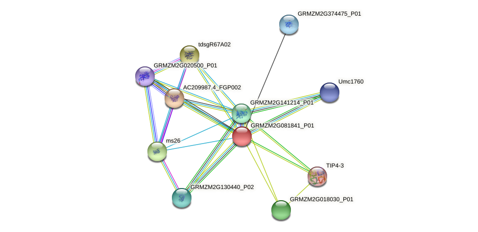 GRMZM2G081841_P01 protein (Zea mays) - STRING interaction network