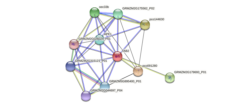GRMZM2G081955_P01 protein (Zea mays) - STRING interaction network