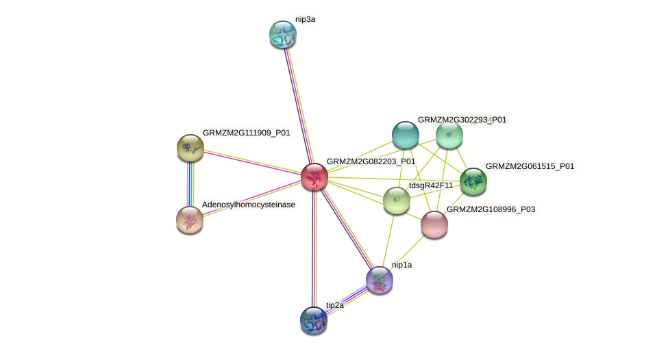 GRMZM2G082203_P01 protein (Zea mays) - STRING interaction network