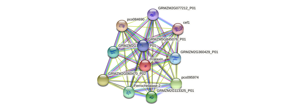 GRMZM2G083755_P01 protein (Zea mays) - STRING interaction network