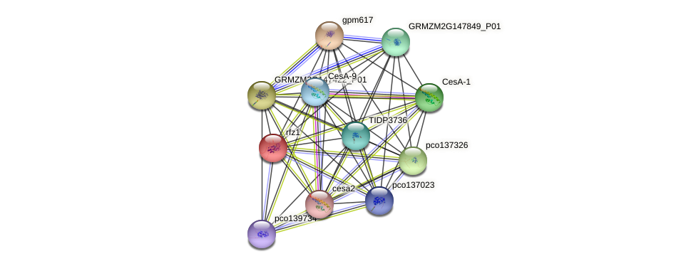 rfz1 protein (Zea mays) - STRING interaction network