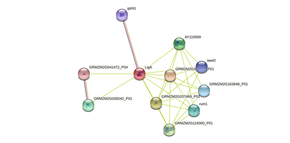 GRMZM2G085411_P01 protein (Zea mays) - STRING interaction network