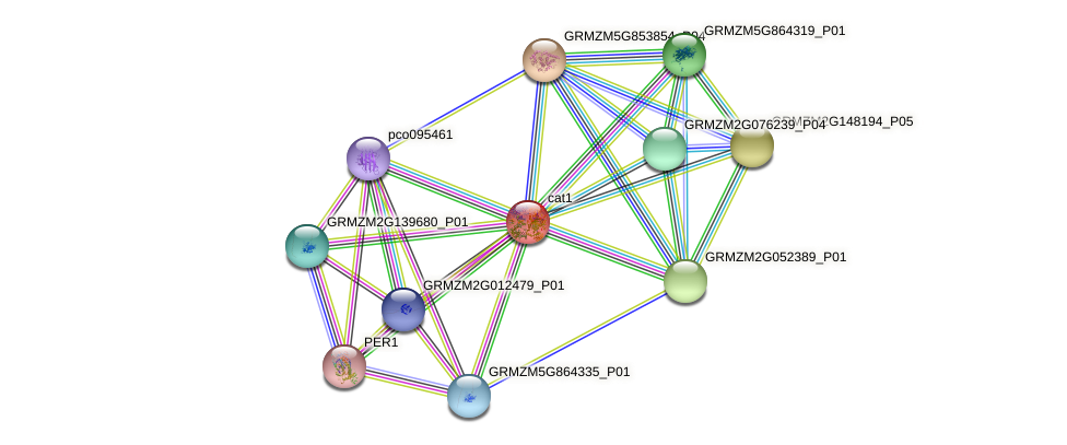 CAT1 protein (Zea mays) - STRING interaction network