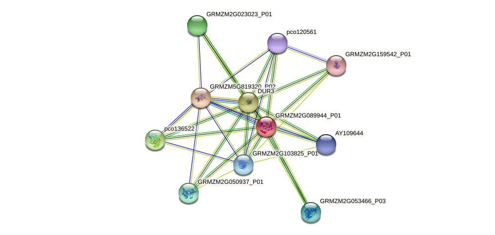 GRMZM2G089944_P01 protein (Zea mays) - STRING interaction network
