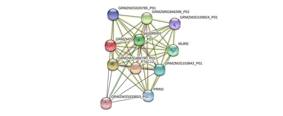 GRMZM2G091419_P01 protein (Zea mays) - STRING interaction network