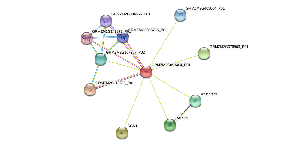 GRMZM2G093404_P01 protein (Zea mays) - STRING interaction network