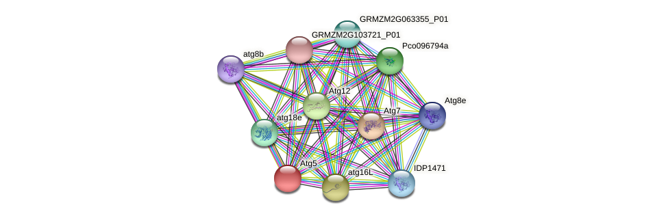 atg5 protein (Zea mays) - STRING interaction network