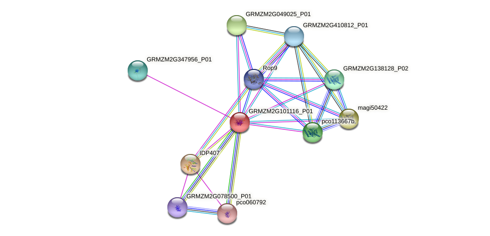 GRMZM2G101116_P01 protein (Zea mays) - STRING interaction network