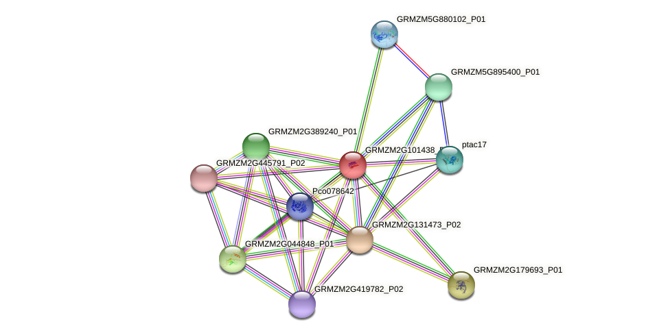 GRMZM2G101438_P02 protein (Zea mays) - STRING interaction network