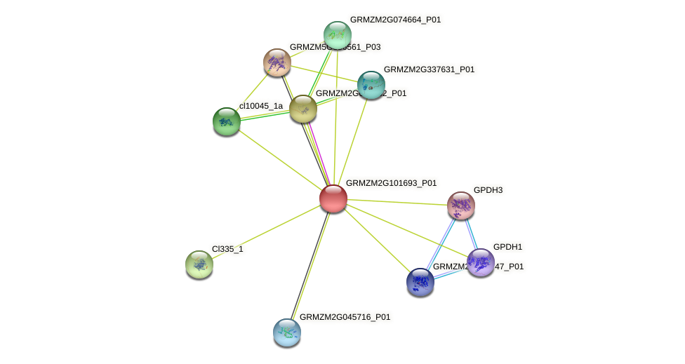 GRMZM2G101693_P01 protein (Zea mays) - STRING interaction network