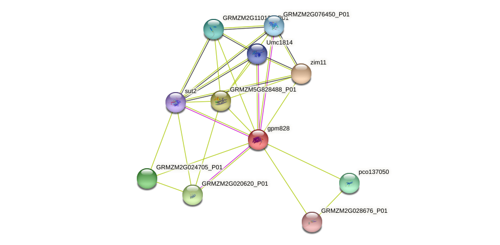 gpm828 protein (Zea mays) - STRING interaction network