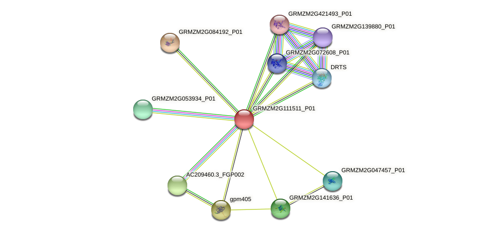GRMZM2G111511_P01 protein (Zea mays) - STRING interaction network