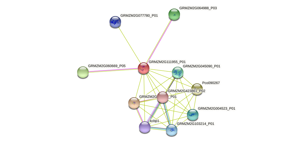 GRMZM2G111955_P01 protein (Zea mays) - STRING interaction network