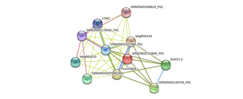 GRMZM2G113840_P01 protein (Zea mays) - STRING interaction network