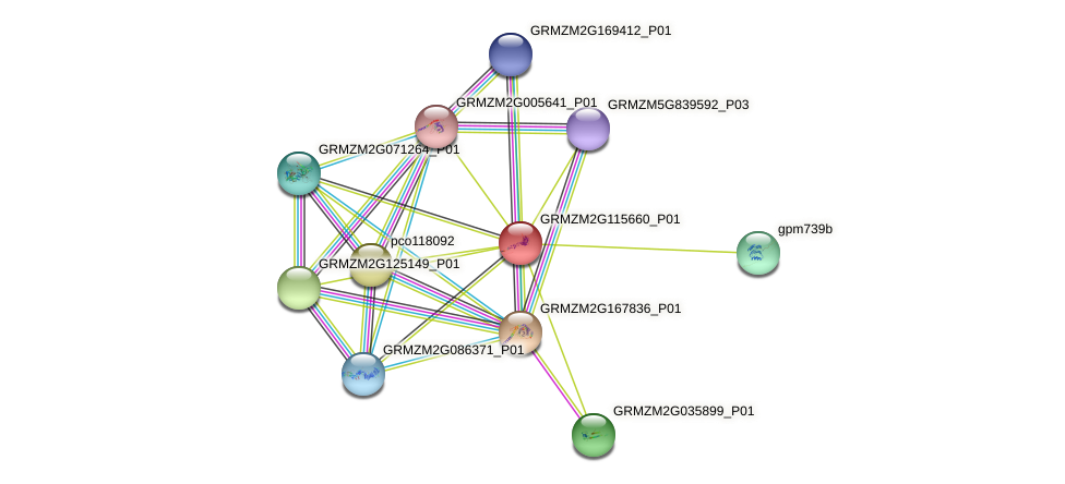 GRMZM2G115660_P01 protein (Zea mays) - STRING interaction network