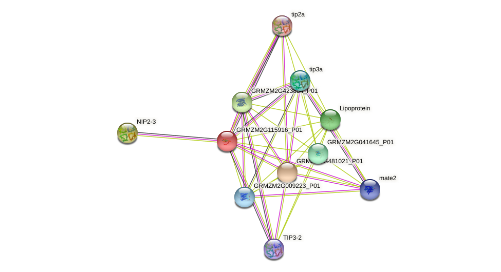 GRMZM2G115916_P01 protein (Zea mays) - STRING interaction network
