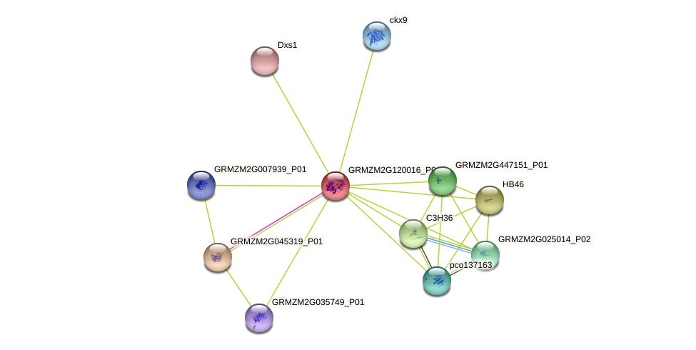 GRMZM2G120016_P01 protein (Zea mays) - STRING interaction network