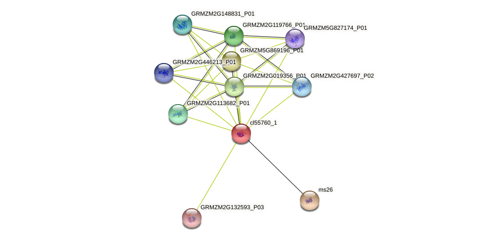 cl55760_1 protein (Zea mays) - STRING interaction network