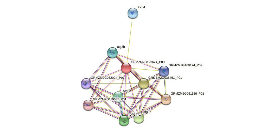 GRMZM2G123624_P03 protein (Zea mays) - STRING interaction network