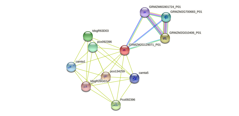 GRMZM2G129071_P01 protein (Zea mays) - STRING interaction network