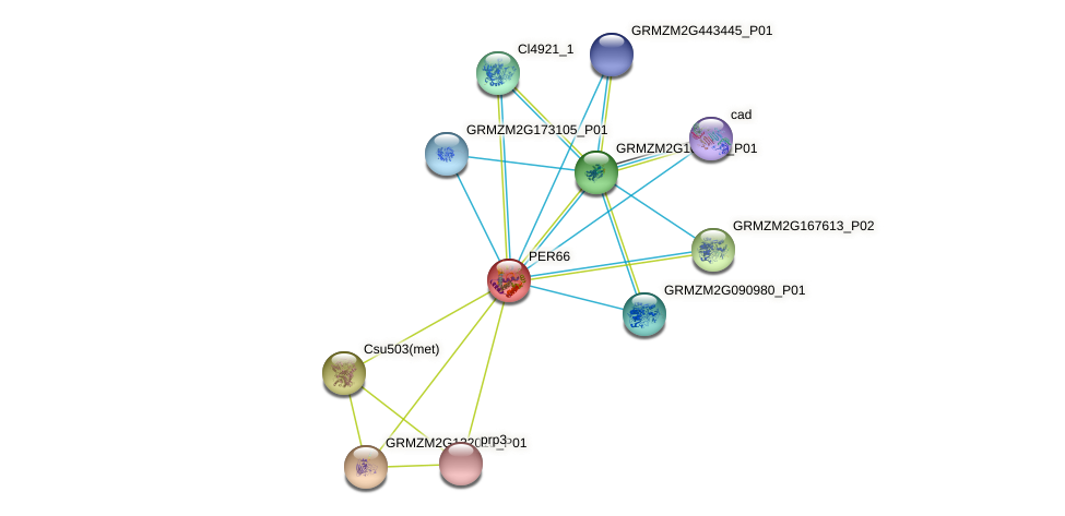 PER66 protein (Zea mays) - STRING interaction network