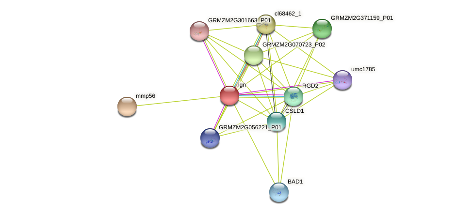 lgn protein (Zea mays) - STRING interaction network