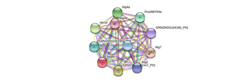 Atg8d protein (Zea mays) - STRING interaction network