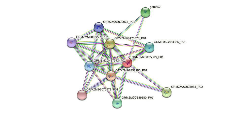 GRMZM2G135089_P01 protein (Zea mays) - STRING interaction network