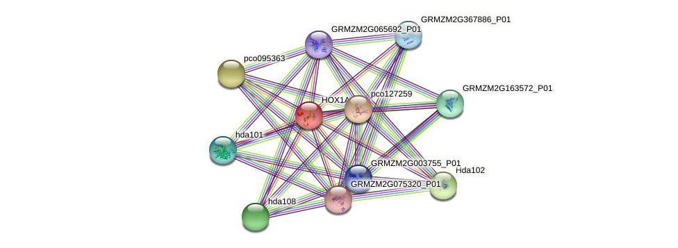 HOX1A protein (Zea mays) - STRING interaction network
