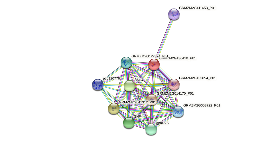GRMZM2G136410_P01 protein (Zea mays) - STRING interaction network