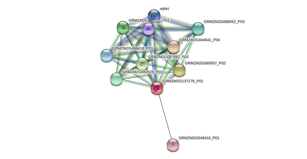 GRMZM2G137176_P01 protein (Zea mays) - STRING interaction network