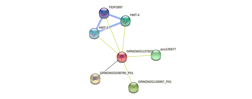 GRMZM2G137507_P01 protein (Zea mays) - STRING interaction network