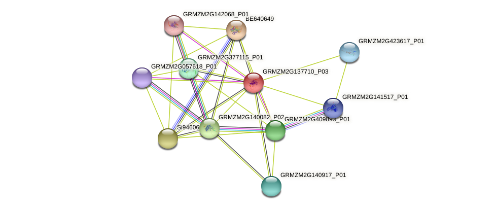 GRMZM2G137710_P03 protein (Zea mays) - STRING interaction network